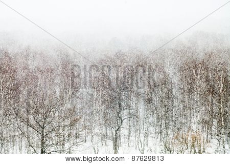 Oak And Birch Trees In Snow Blizzard