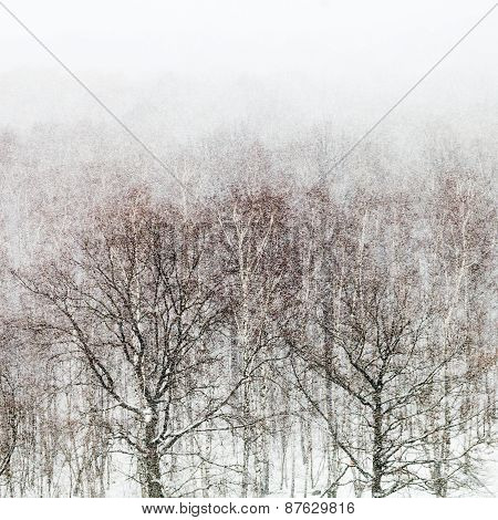 Oak And Birch Trees In Snow Storm
