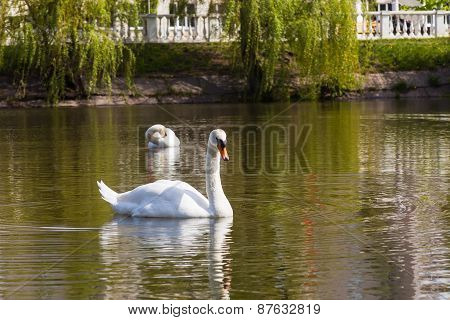 Swan Lake In City