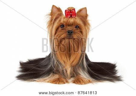 Dog With Bright Red Hair On Muzzle