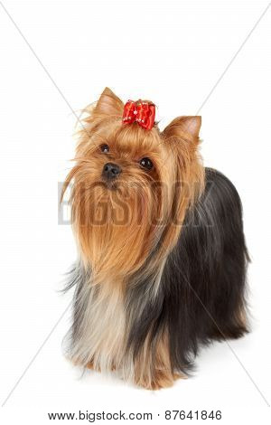 Yorkshire Terrier Looks Upward