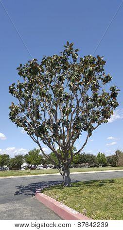 California Magnolia