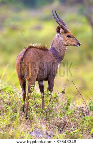 East african bushbuck standing in the bush
