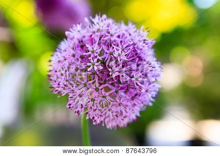 Macro Photo Of Alium Flowers