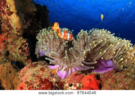Coral, Anemone and Clownfish underwater