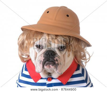 dog wearing clothing - bulldog with blonde wig, safari had and shirt on white background