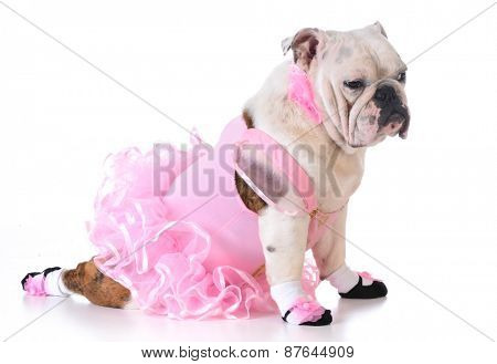 bulldog ballerina on white background - 8 months old