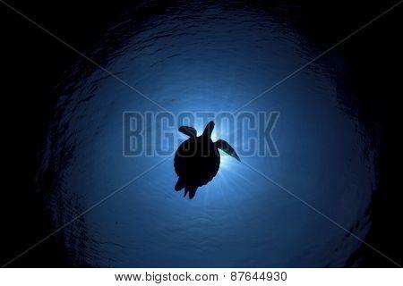 Silhouette Sea Turtle and sun