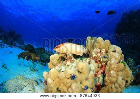 Blacktip Grouper fish on reef