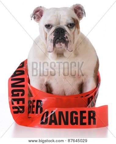 naughty dog - bulldog with danger tape wrapped around body on white background