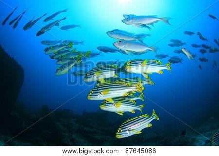 Sweetlips fish and bigeyes