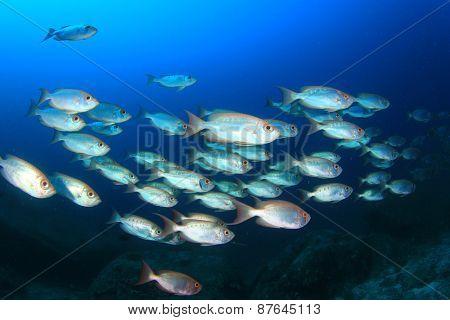Fish school Bigeyes