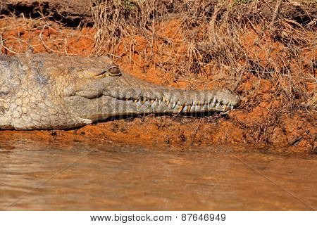 Freshwater crocodile (Crocodylus johnstoni), Kakadu National Park, Northern Territory, Australia