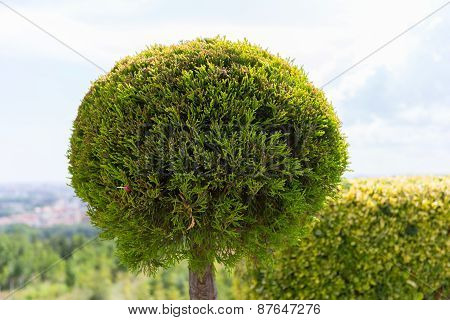 The Young And Green Thuja