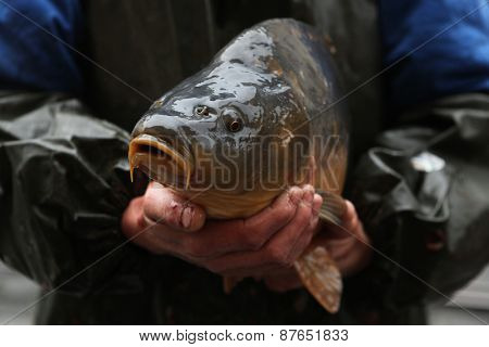 PRAGUE, CZECH REPUBLIC - DECEMBER 21, 2012: Fisherman sells a live carp (Cyprinus carpio) as a traditional Czech Christmas meal in Prague, Czech Republic.