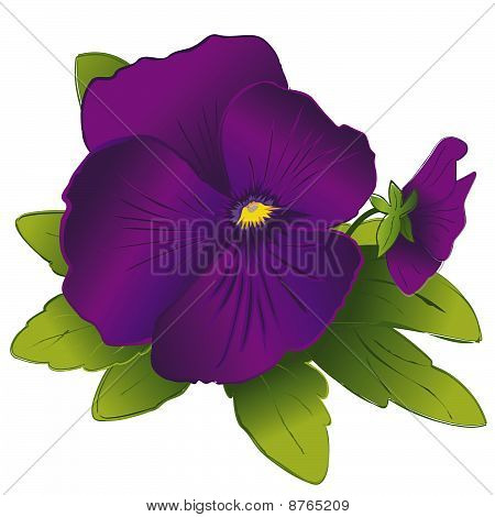 Purple Pansies