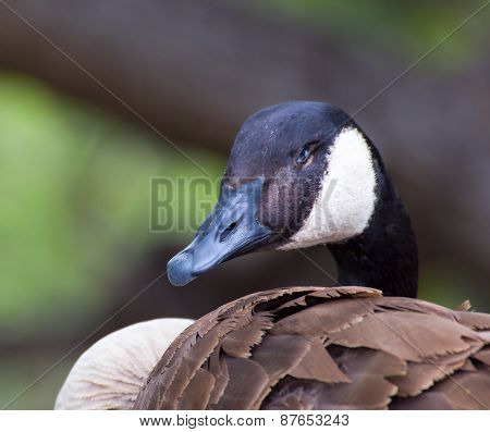 Canda Goose Profile