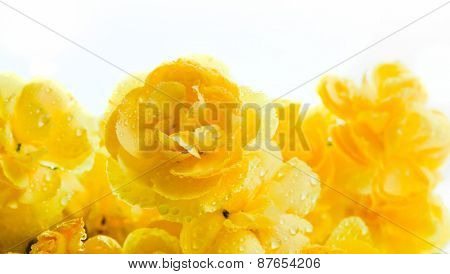 Yellow soft flowers bouquet on white background. Spring, celebration.