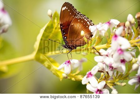 beautiful spotted butterfly, close up