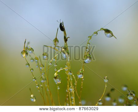 Beetle And Water Drops On Stems Of Moss In Forest