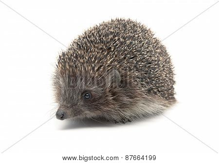 Hedgehog Close-up Isolated On White Background