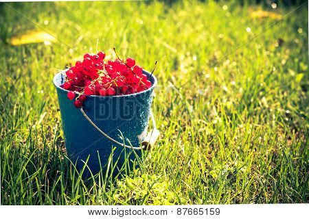 Red Currant Fruit Bucket Grass