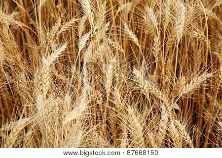 Closeup Field Of Ripe Yellow Wheat