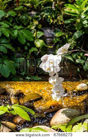 White Orchids Over Stream