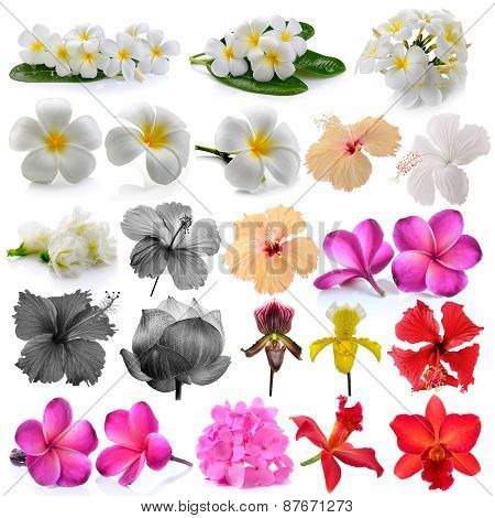 Orchid  Frangipani ,asian Pigeonwings, Flowers Isolated On White Background.