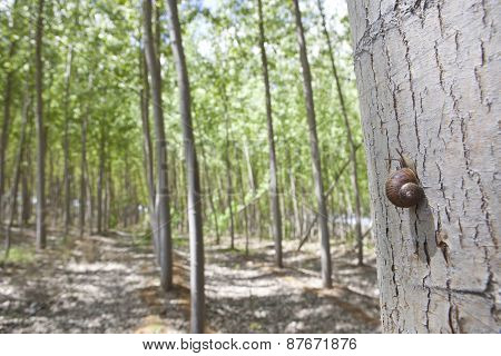 Snail On Poplar Forest