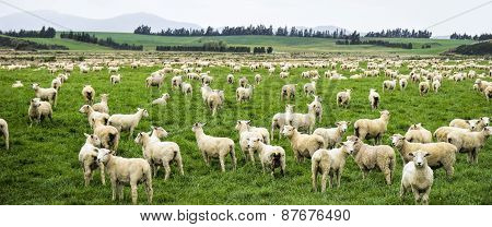 Large Flock Of Newly Shorn Sheep