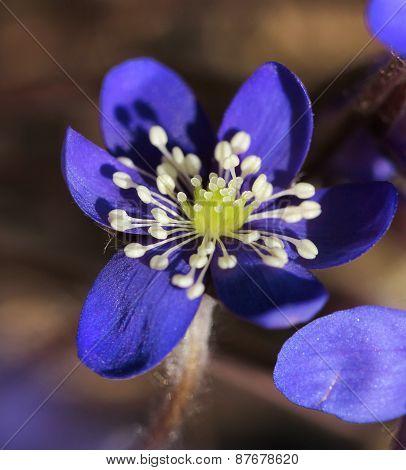 Blue Hepatica Flower Closeup