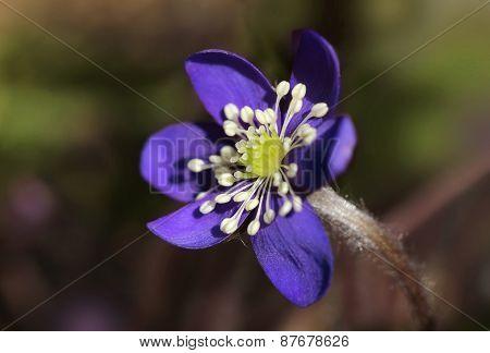 Blue Hepatica Nobilis Flower Closeup