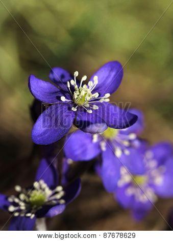 Blue Hepatica Flowers In Spring