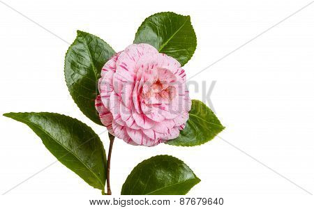 Isolated Camellia
