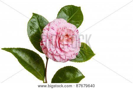 Isolated Camellia
