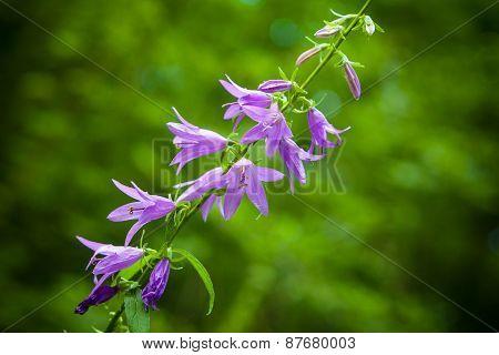 Purple wildflowers, bokeh effect