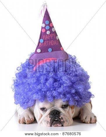 birthday dog - bulldog wearing clown wig and birthday hat on white background
