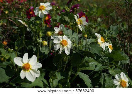 White dahlias in a garden
