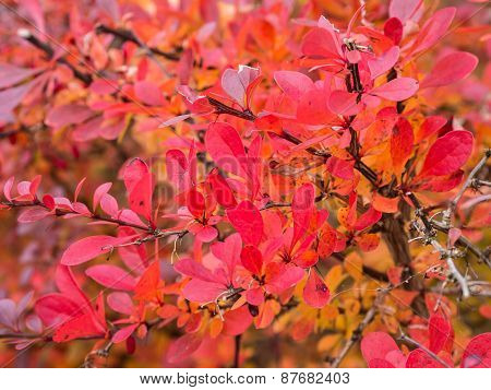 Autumnal Colored Leaves