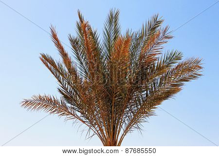 Palm Tree Against Blue Sky. Tropical Nature