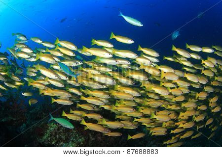 School yellow fish (Bigeye Snappers)