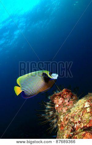 Coral and fish underwater in ocean (Emperor Angelfish)