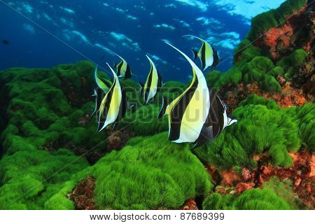 Underwater scene with tropical fish (Moorish Idols)