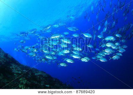 Bigeye Trevallies fish school