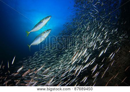 Mackerel fish hunting sardines