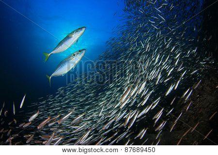 Mackerel fish hunting sardines