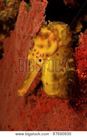 Yellow Tigertail Seahorse