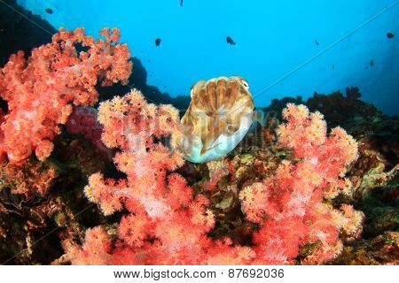 Pharaoh Cuttlefish on coral reef