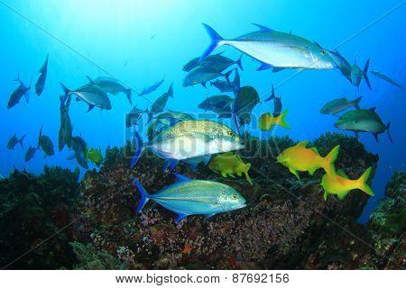 Fish hunting (Bluefin Trevallies and Goatfish)